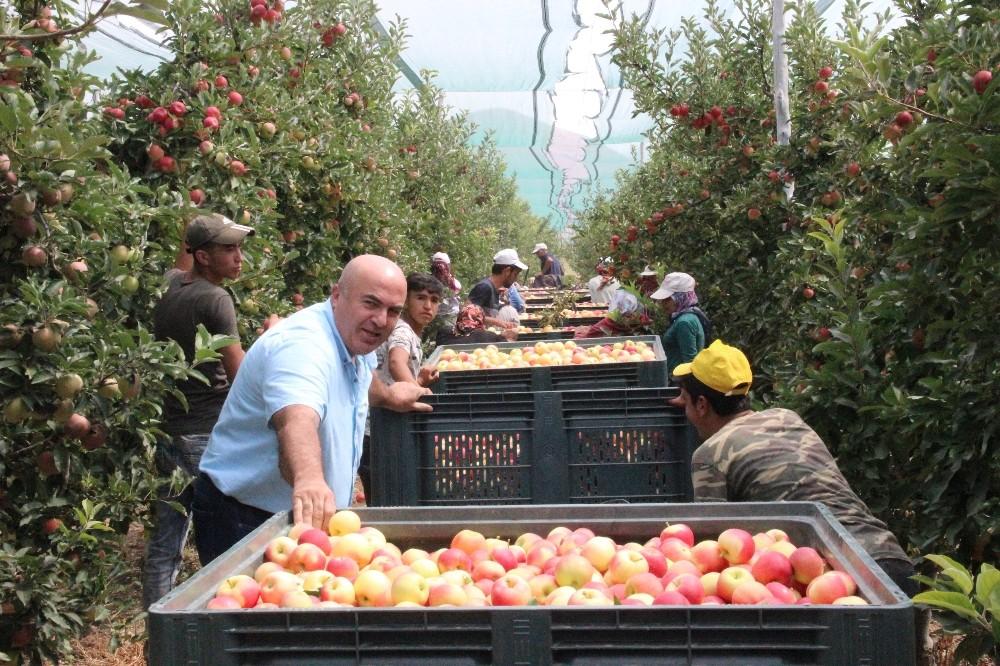 Türkiye'nin elma deposu Karaman'da erkenci elma hasadı başladı