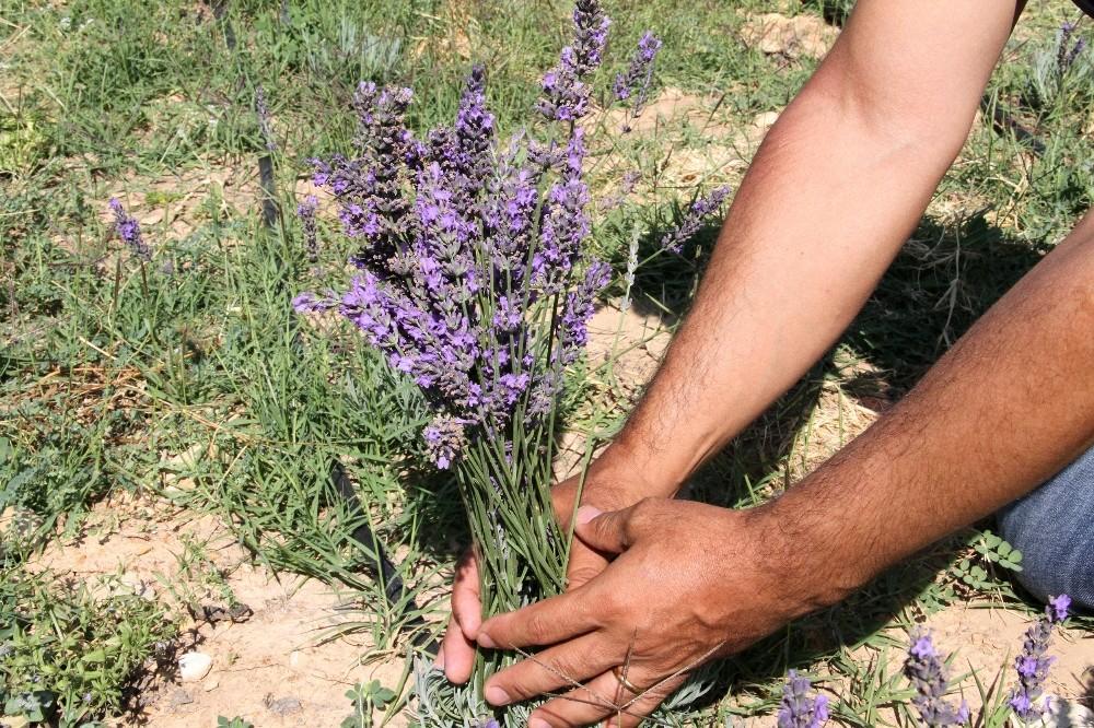 Üreticilere dağıtılan 30 bin lavanta fidesi çiçek açtı, hasat başladı