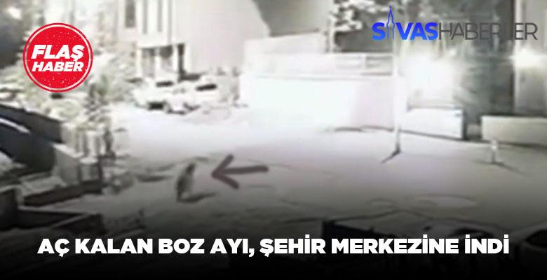 Sivas Koyulhisar'da aç kalan boz ayı gözüktü