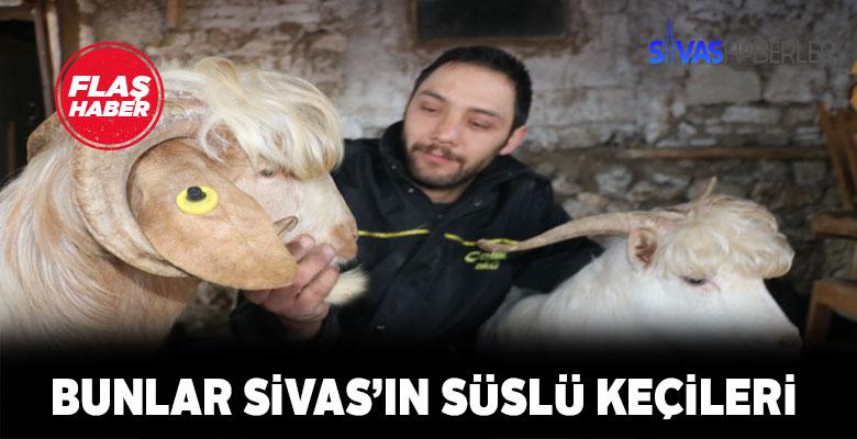 Bunlar Sivas'ın süslü keçileri