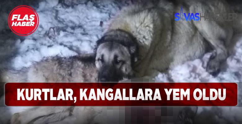 Sürüye saldıran kurtları Kangallar engelledi