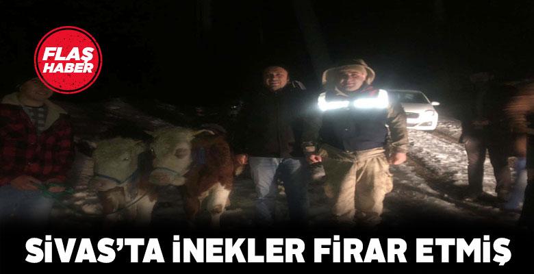 Suşehri'nde kaybolan inekler çalınmamış, firar etmiş!